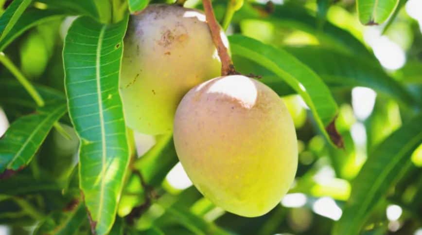 benefits-mango-leaves